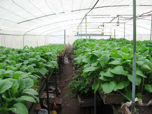 Выращивание в теплице из поликарбоната баклажанов
