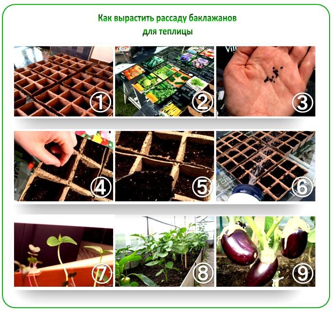 Этапы выращивания рассады баклажанов для теплицы