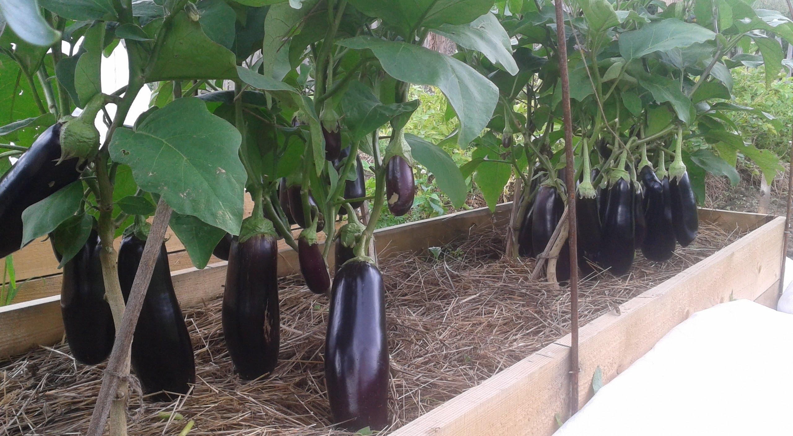 Выращивание баклажанов в сибири 71