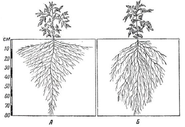 Схема размещения корневой системы помидоров: А - на обильно орошаемом участке корни размещаются более полого. Основная масса корней размещается блише к поверхности почвы. Б - на слабоорошаемом участке, корни идут в почву круто. Основная масса корней размещается глубоко