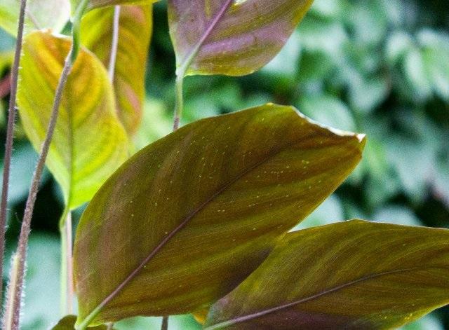 Лист калатеи, которой досталось от белокрылок: на просвет видны многочисленные проколы-укусы