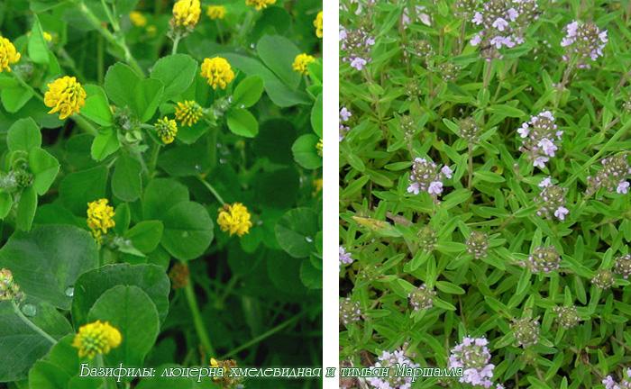 Базифилы — растения щелочных почв