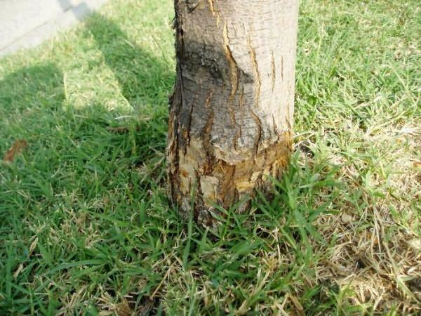 Грунт вокруг дерева можно полить гербицидом