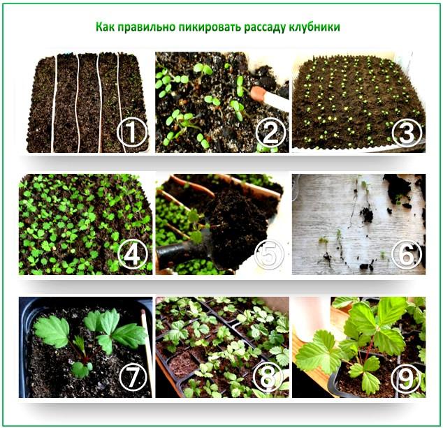 Как правильно посадить землянику на рассаду из семян 96