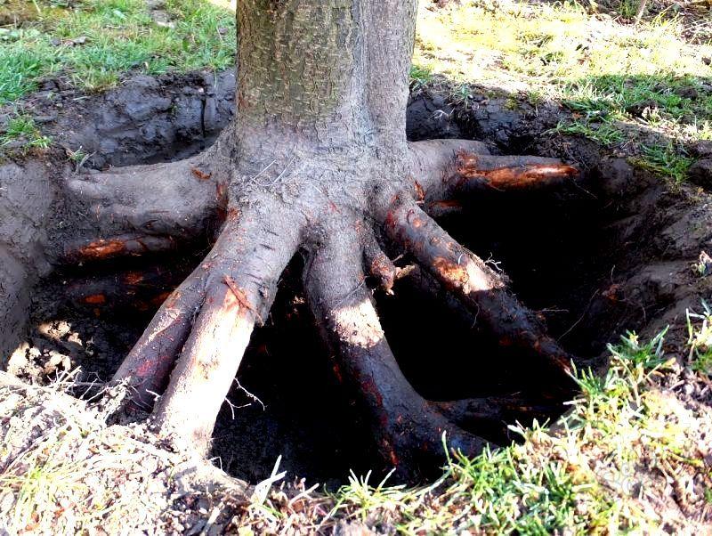 Полное уничтожение дерева вместе с пнем