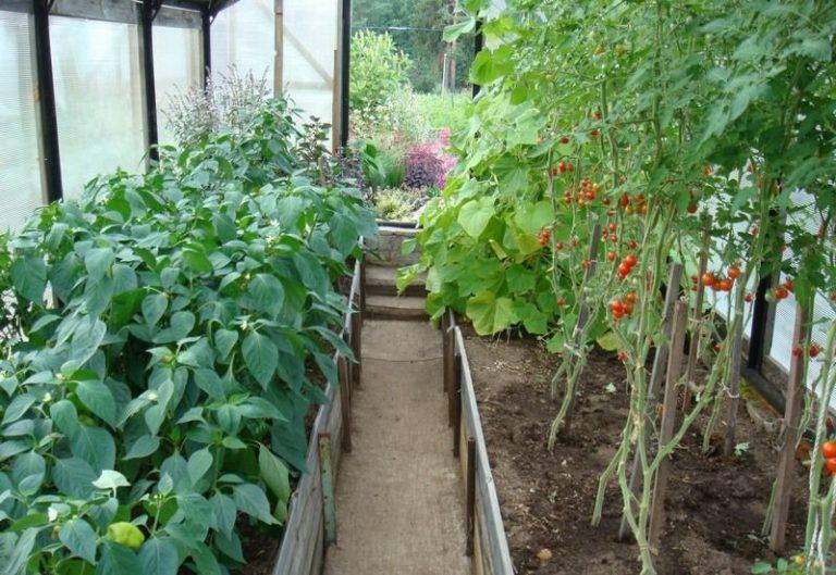 Можно ли рядом сажать помидоры и перцы 46
