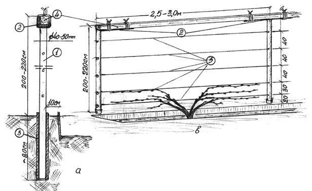 Пример вертикального шпалера для винограда с саженцем в траншее