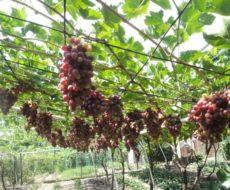 Пример выращивания темного винограда на горизонтальной шпалере