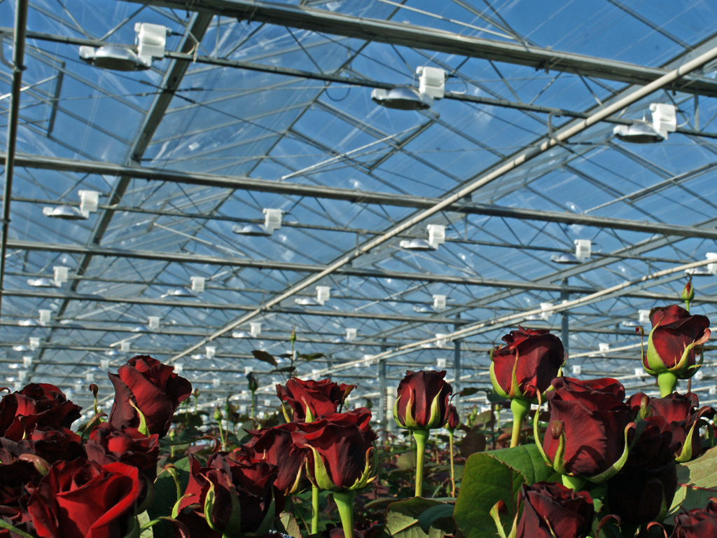 Выращивание розы на срезку в теплице 52
