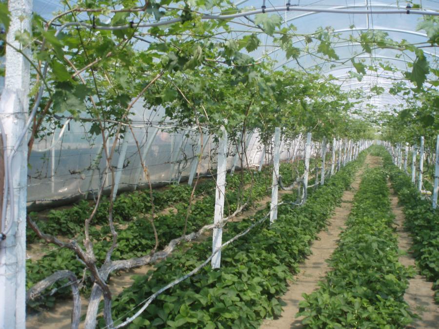 Шпалеры для выращивания винограда в теплице