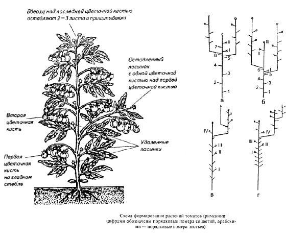 Схема формирования помидоров в теплице.