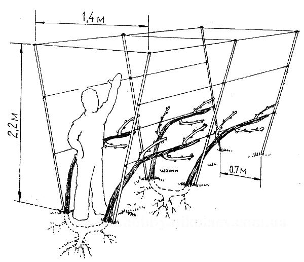 Схема примера шпалеры для винограда