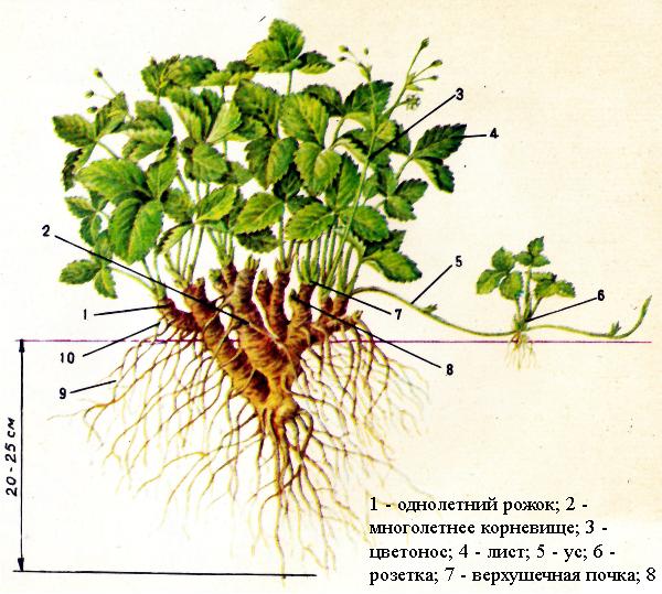 Схема строения куста клубники