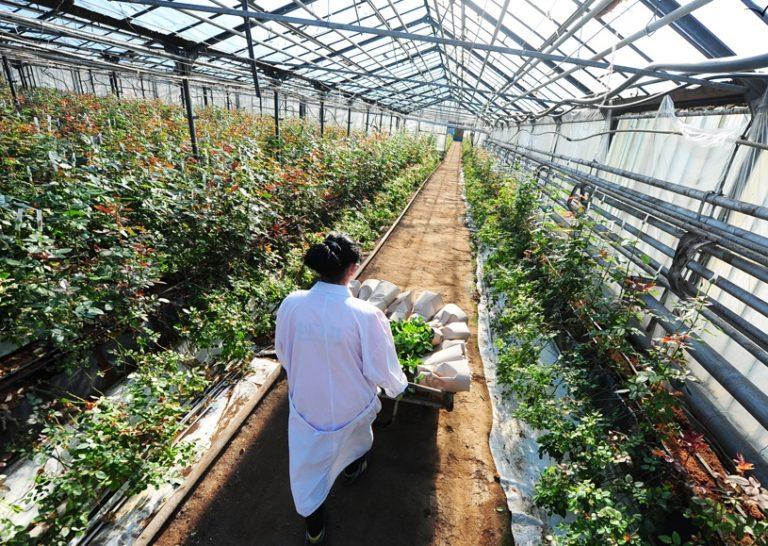 Выращивание розы на срезку в теплице 4