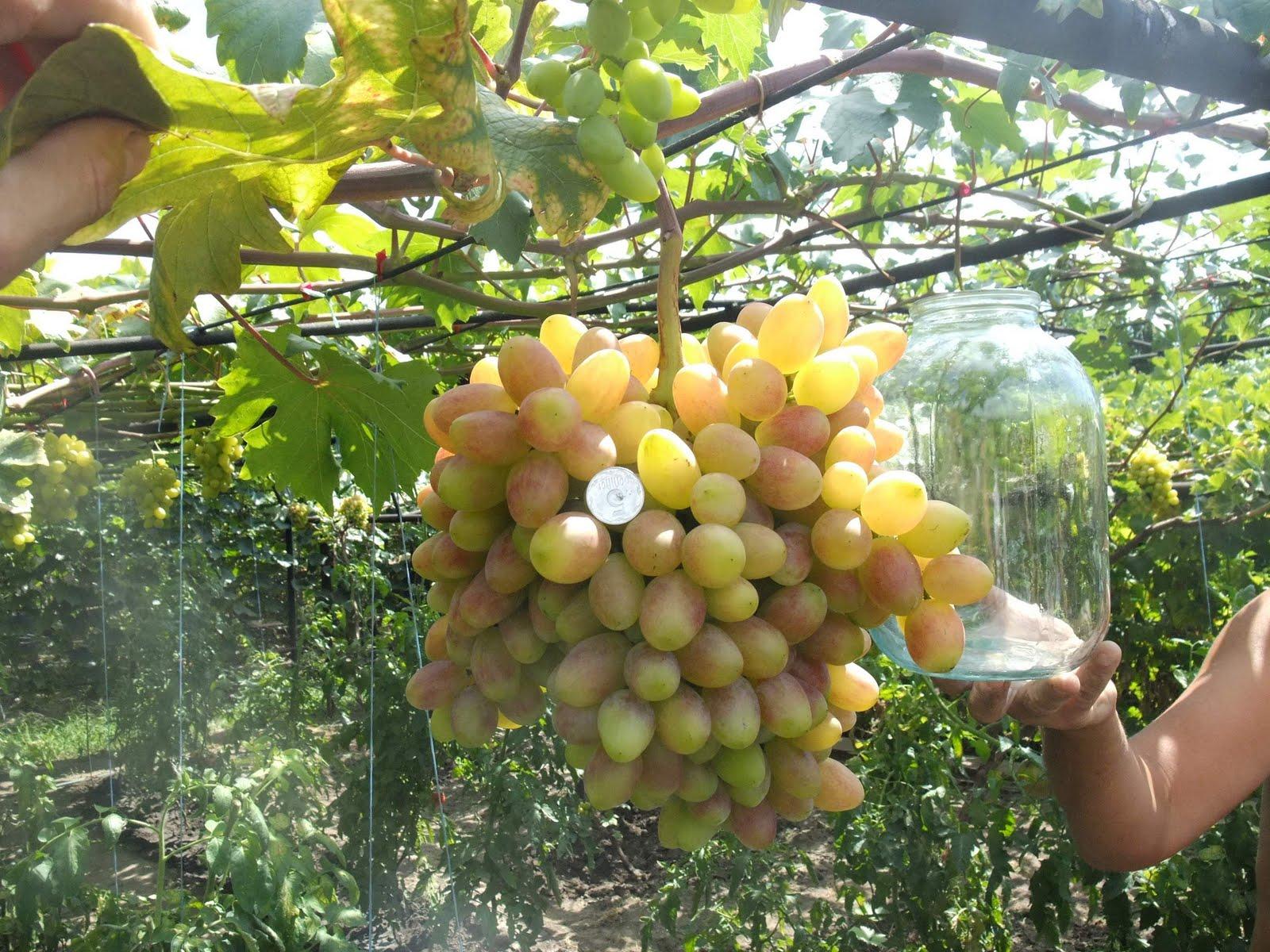 Тепличное выращивание винограда повышает урожайность