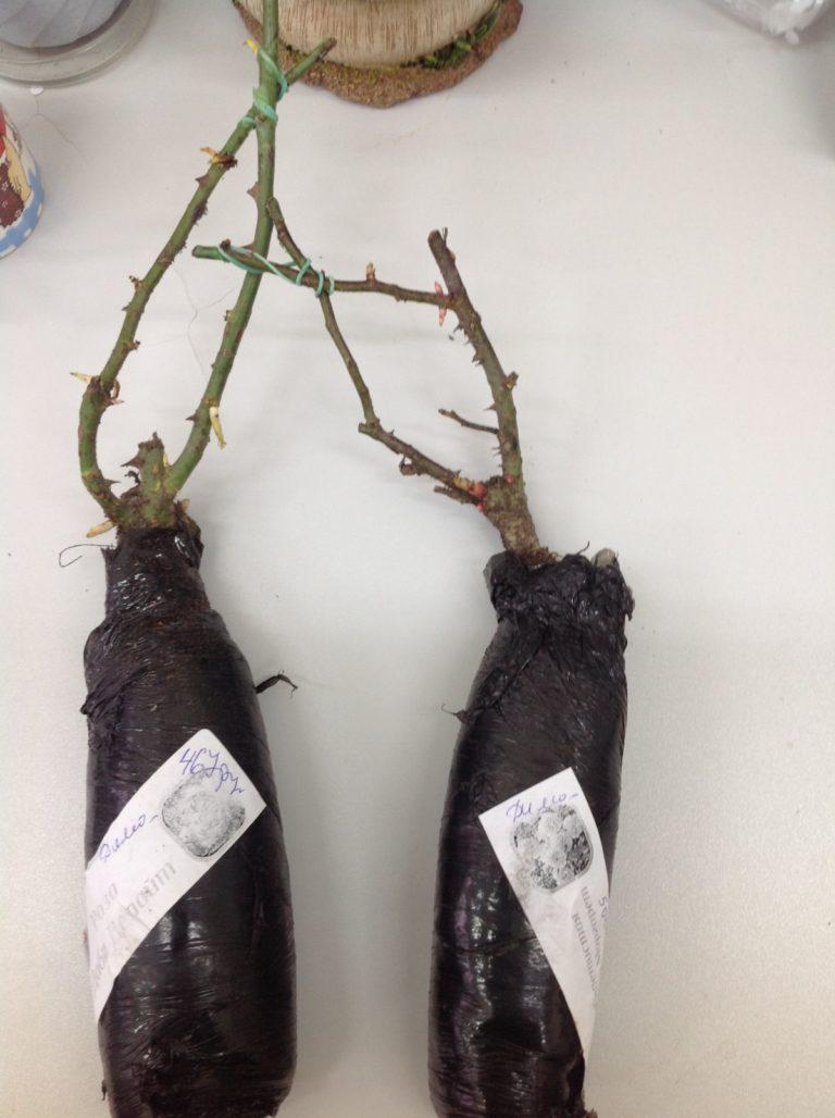 Выращивание саженцев роз своими руками