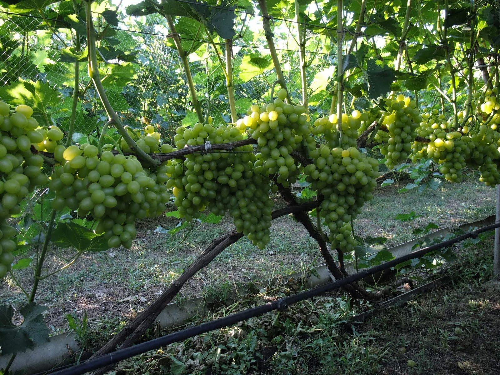 Выращивание тепличного винограда: секреты технологии