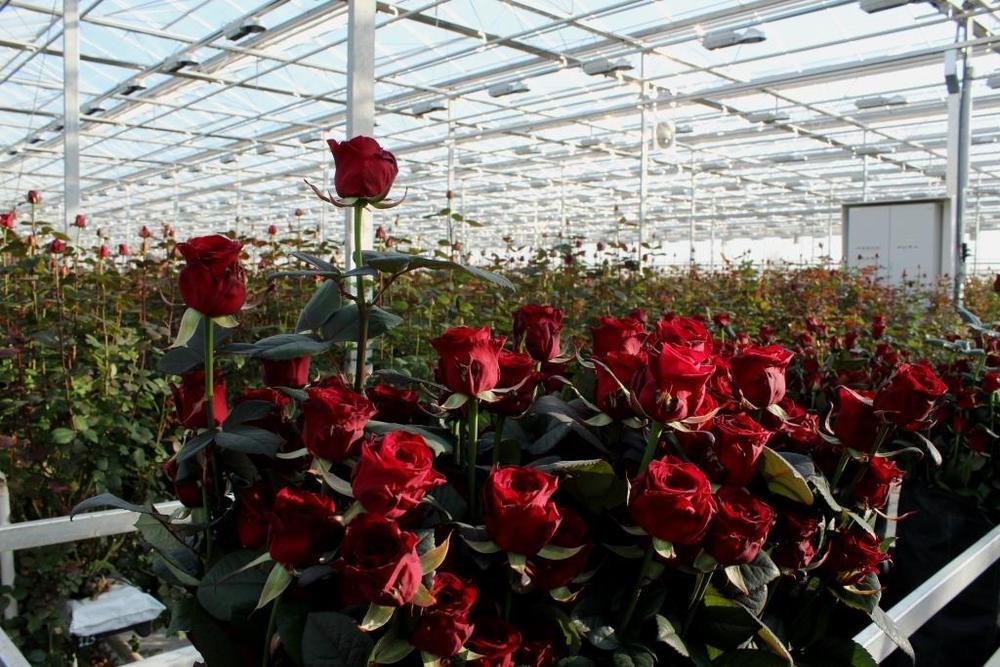 Выгонка роз в теплице
