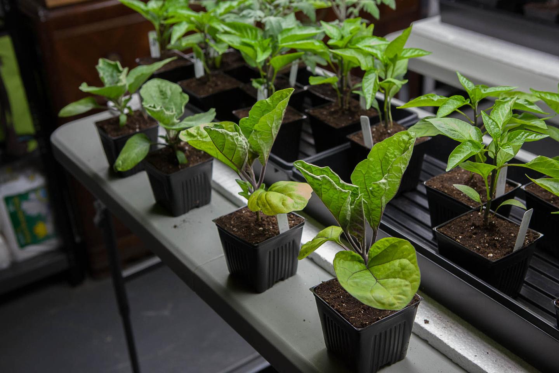 Выращивание баклажанов в отдельных пластиковых горшках
