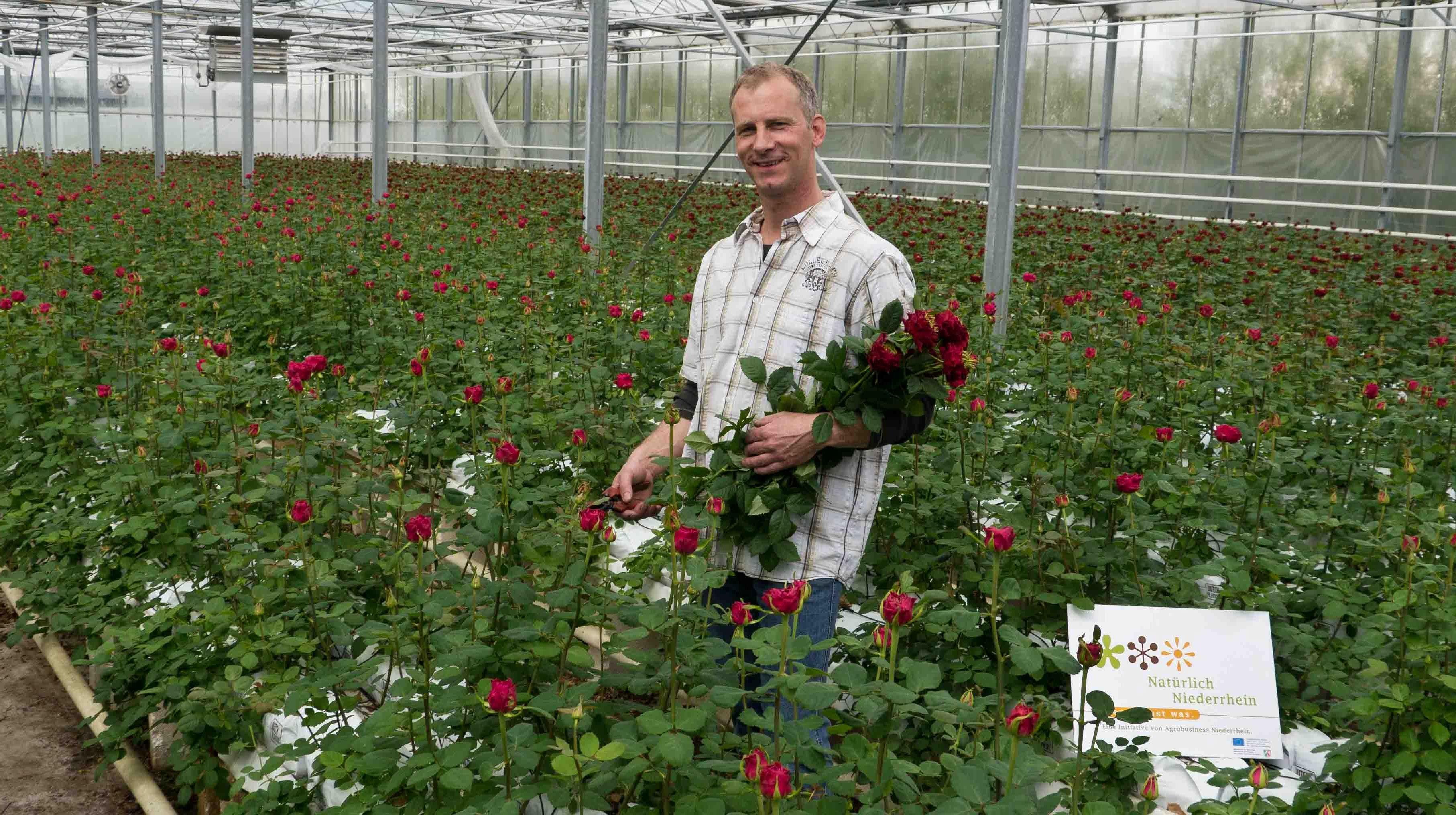 Выращивание роз для бизнеса 879