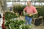Выращивание роз в теплице на продажу