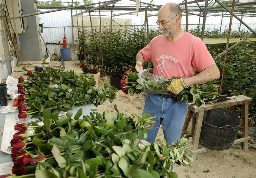 Выращивание роз в саду и на продажу - советы экспертов