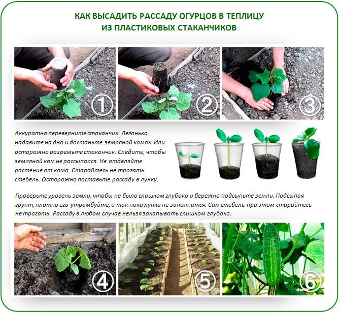 Выращивание огурцов зимой в теплице