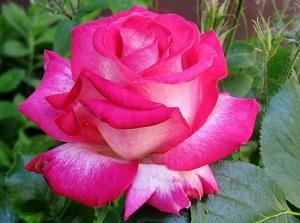 Роз Гожар (Rose Gaujard)