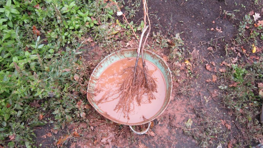 Болтушка из глины для обработки корней