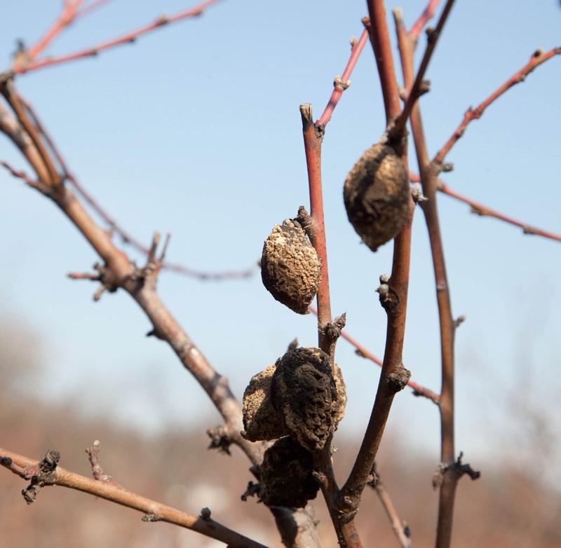 Гнезда вредителей на яблоне