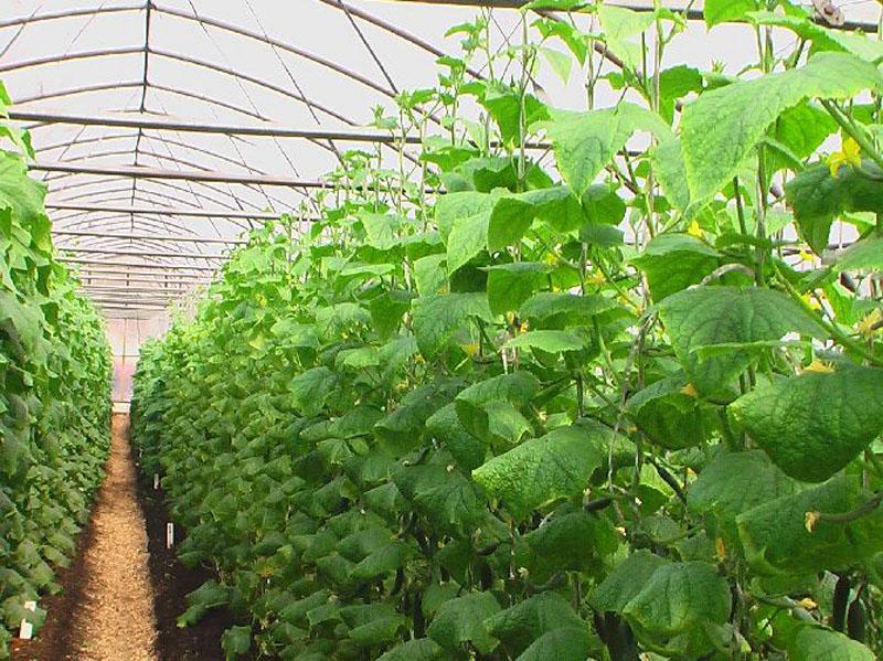 Выращивание огурцов в теплице зимой из поликарбоната 13