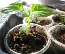 Как вырастить рассаду перца в домашних условиях