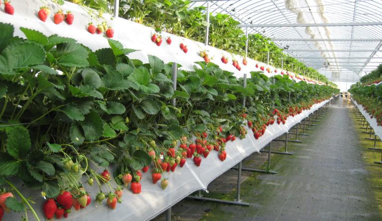 Выращивание клубники для бизнеса отзывы