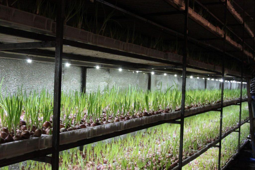 Выращивание зелени в подвале на продажу 5