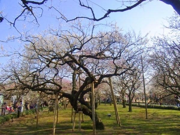Опоры для раскидистых деревьев