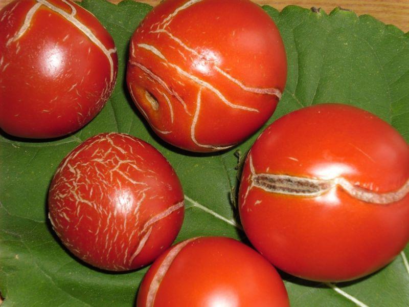 Почему трескаются помидоры в теплице