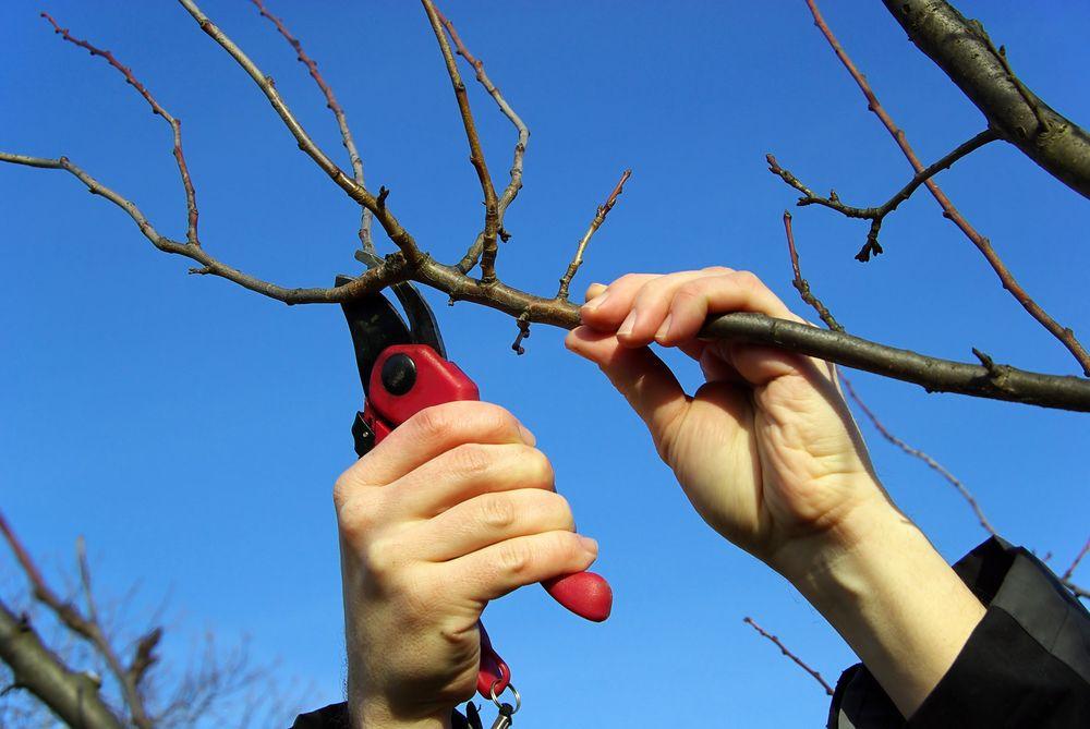 Подготовка черенков яблони