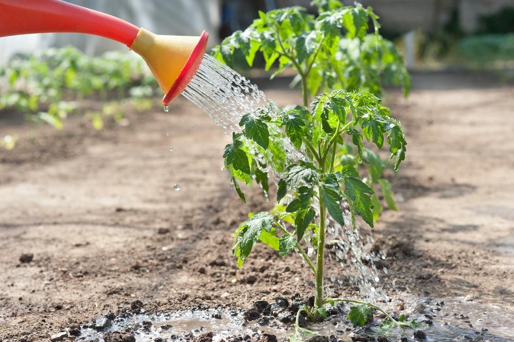 Чем поливают рассаду помидор