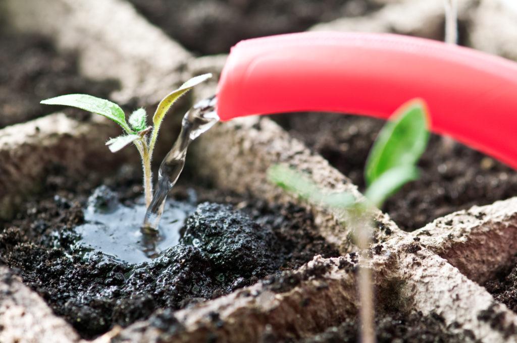 Чем поливать рассаду помидоров 323