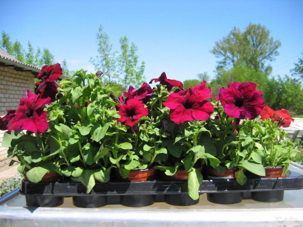 Посев рассады с цветами 92