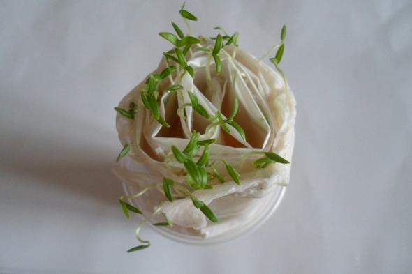 Выращивание рассады в пеленках