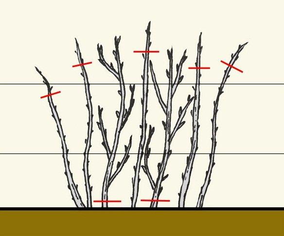 Схема обрезки малины осенью