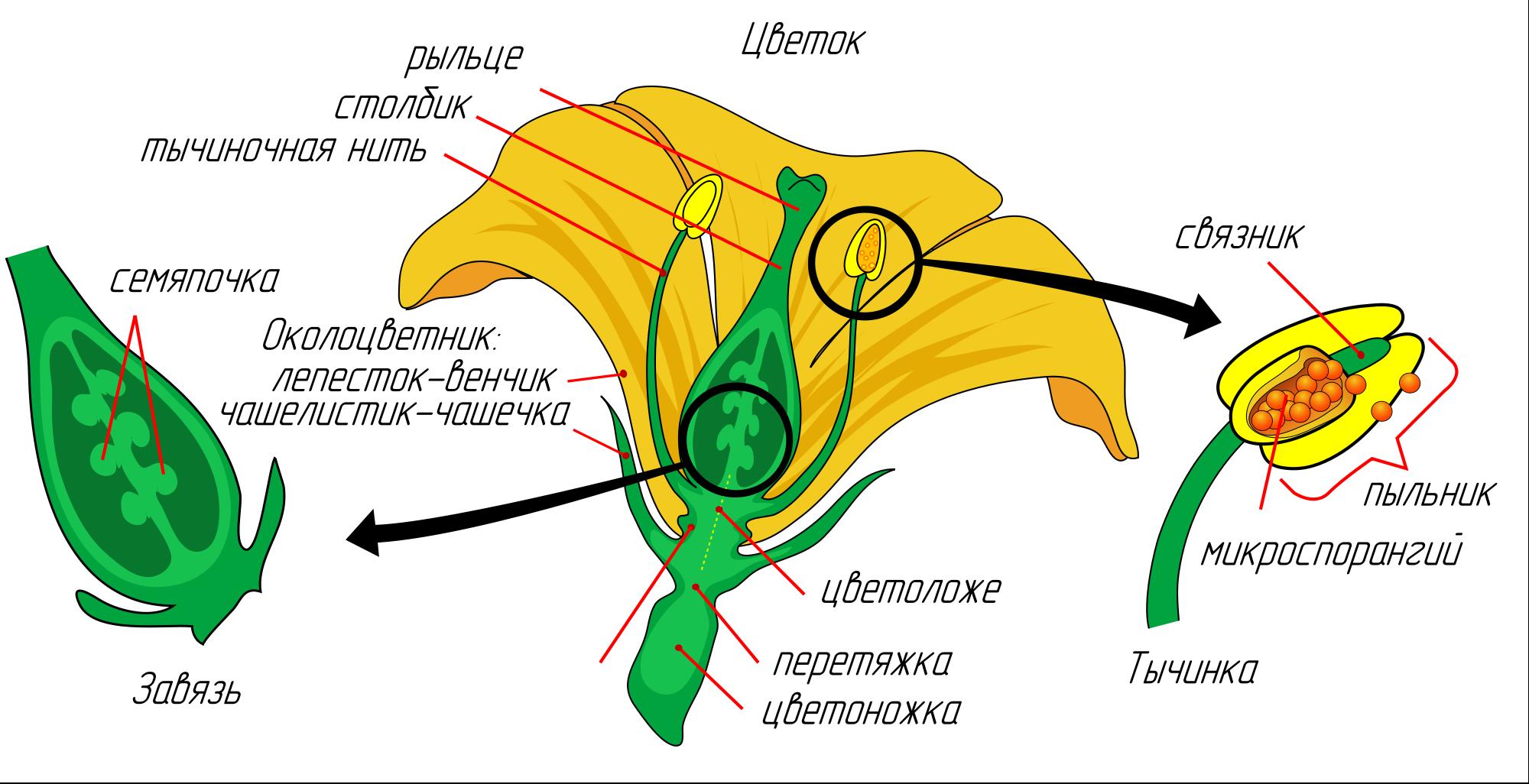 Строение цветка самоопыляемых огурцов
