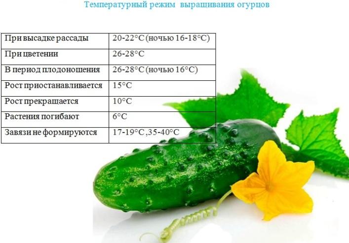 Температура при выращивании огурца в теплицах