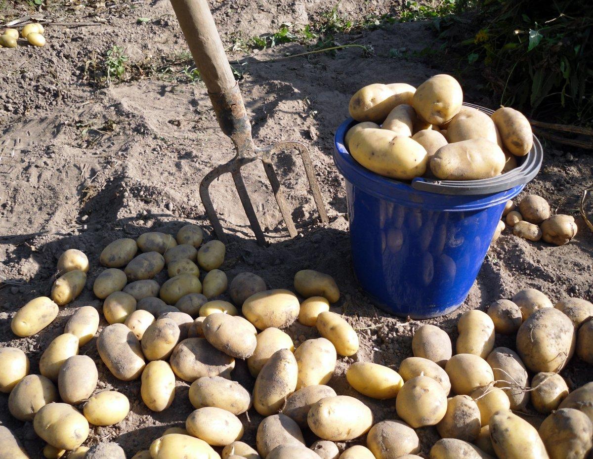 Уборка поздних сортов картофеля в сентябре
