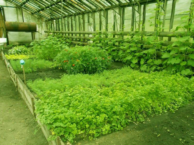 Выращивание в теплицах зелени 93