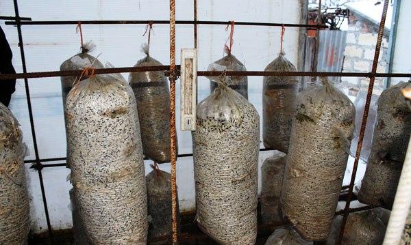 Выращивание вешенок в брикетах с подвешиванием на стойках