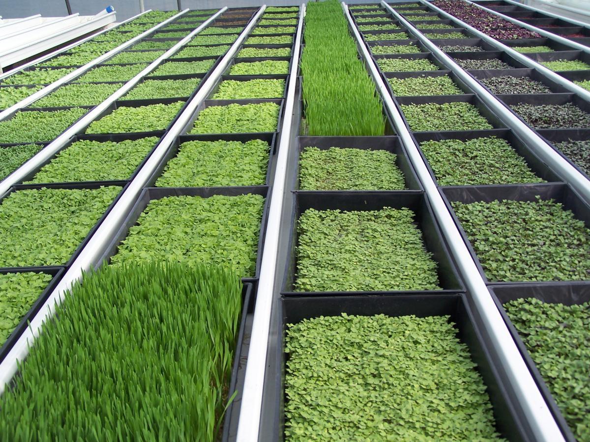 Выращивание зелени в теплице зимой: секреты для 75
