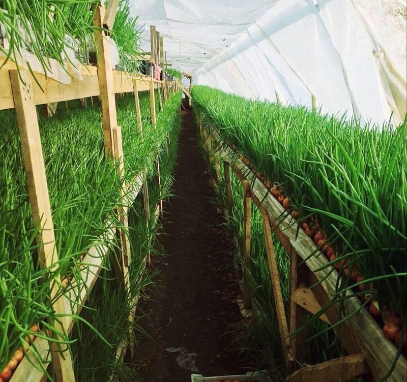 Выращивание зеленого лука в теплице в ноябре