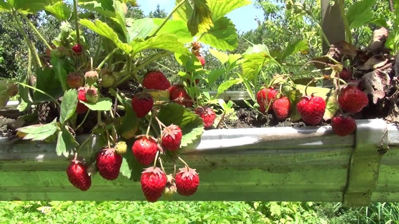 Выращивать на продажу рекомендуется клубнику с высоким плодоношением и постоянным цветением